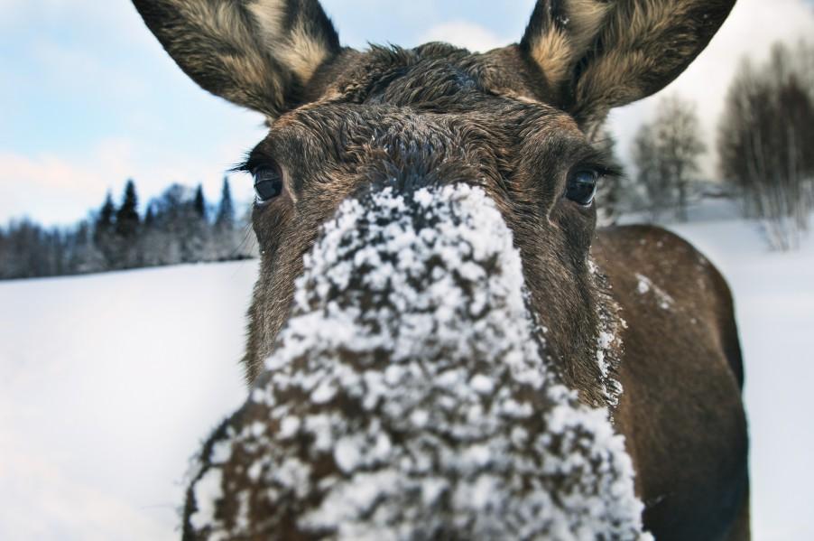 folio-a_curious_moose-4279