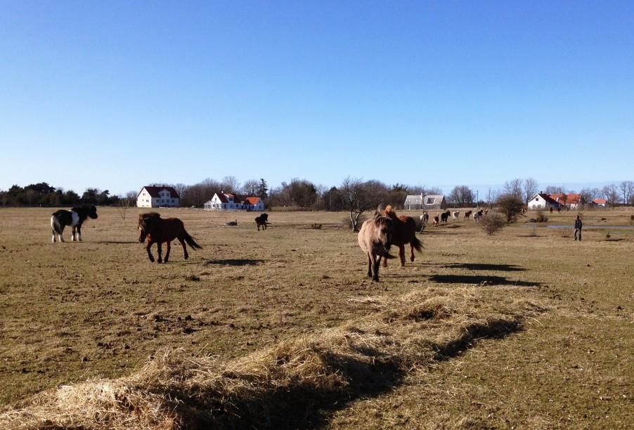 Horses in Fårö, Gotland