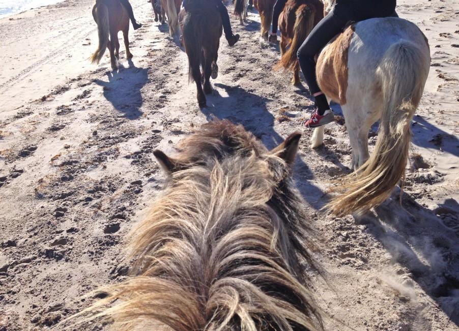 Iceland horse on Fårö