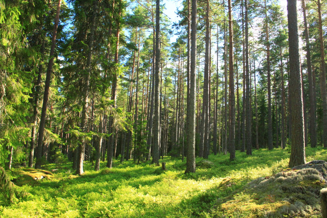 Forest in Sweden