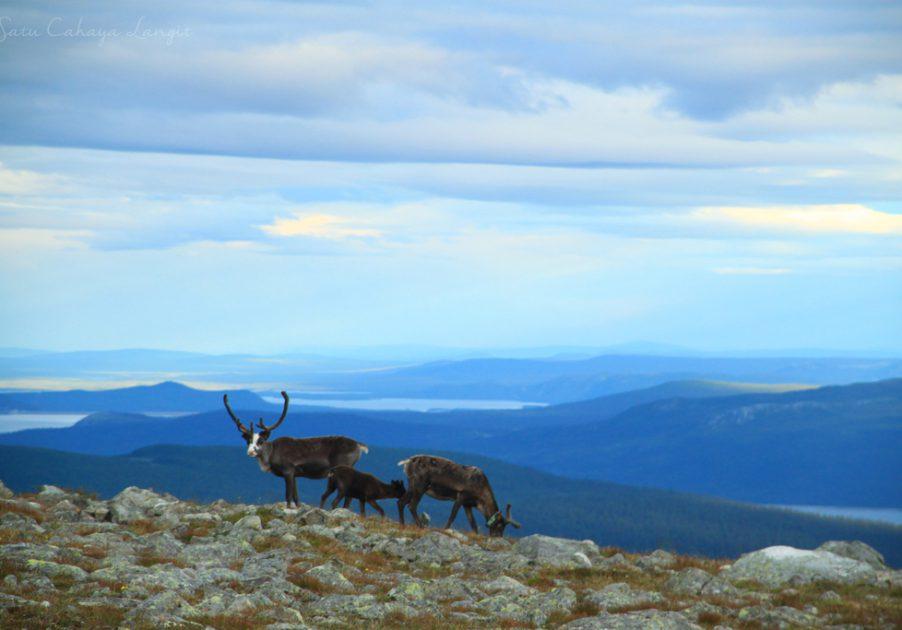 Reindeer in Sarek