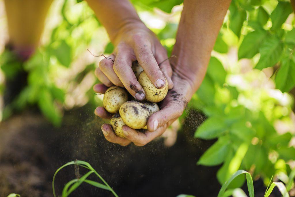 Potatoes harvest close-up.