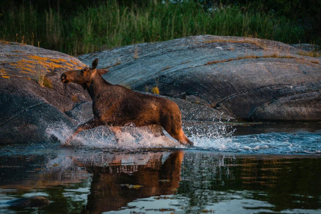 Splish splash of water is fun even the moose likes it (Source: Helena Wahlman/imagebank.sweden.se)