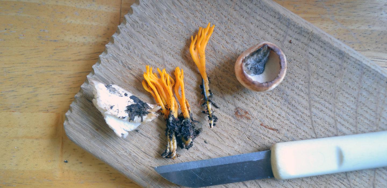 Orange coral mushrooms (Source: Sania)