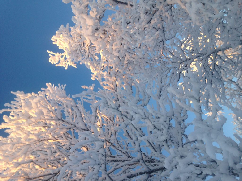 Snow frozen on trees in Northern Sweden